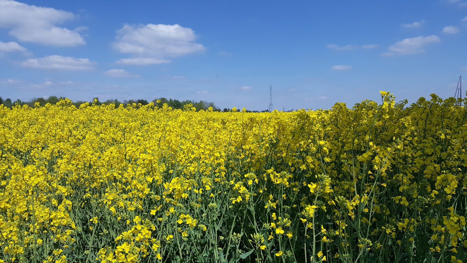 Dichisurile ralucai belgium found yellow flower fields in arlonia the fields appear in this area around the month of may and i like their smell mightylinksfo Images
