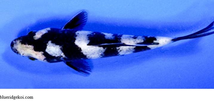 Gambar  Ikan Koi Shiro Utsuri