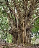 20 Interesting Facts about 'Banyan' Tree in English