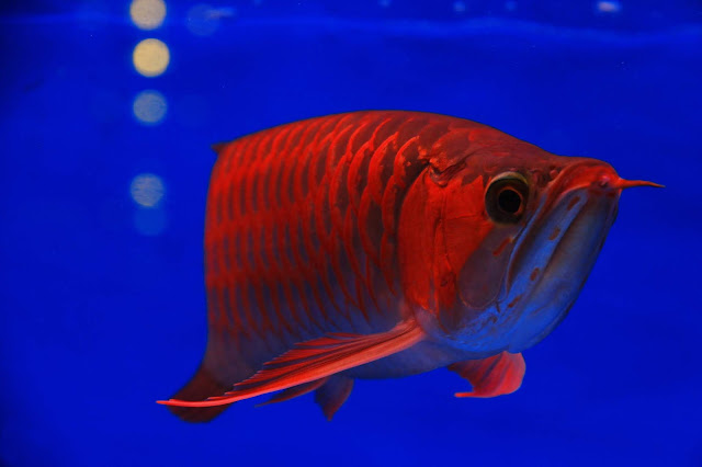 The Most Popular Types of Arowana in The World