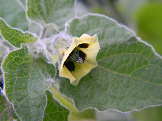 miechunka peruwiańska, kwiat, ogród, physalis