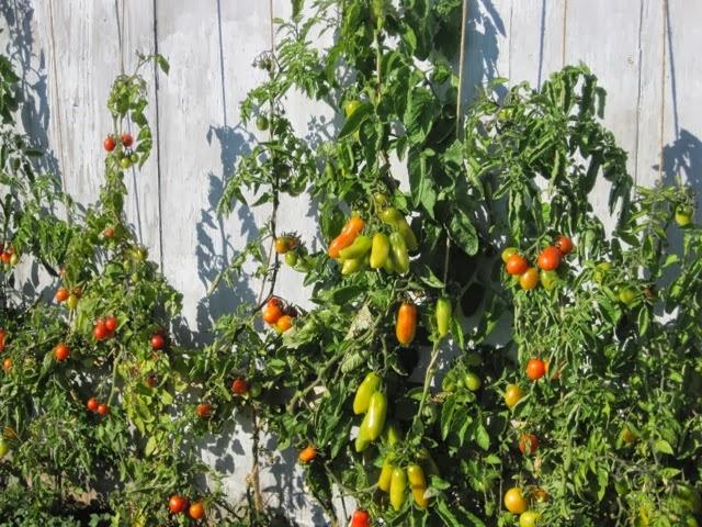 er vi officielt dating røde tomater