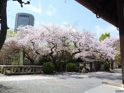 櫻宮神社の染井吉野