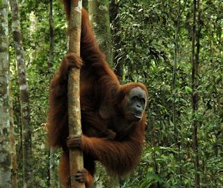 hewan terpintar dan tercerdas di dunia - orangutan
