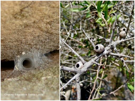 Tela de araña en un muro de piedra / Agallas del molle provocadas por un insecto - Chacra Educativa Santa Lucía