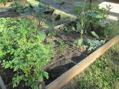 Helping at the school garden-square foot gardening