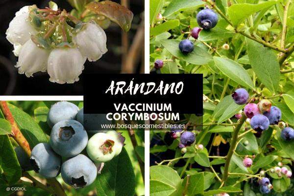 Vaccinium corymbosum