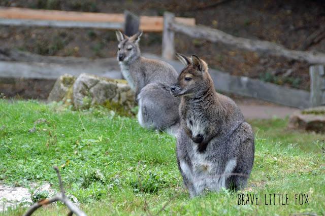 Kängurus Erlebnis-Zoo Hannover