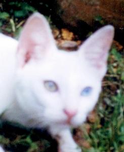 Kucing Ini Mengalami Sindrom Heterochromia Iridum