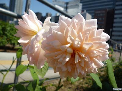 トゲトゲの薔薇