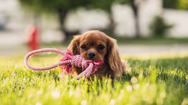 anak anjing yang menggigit tali karena ingin jalan-jalan