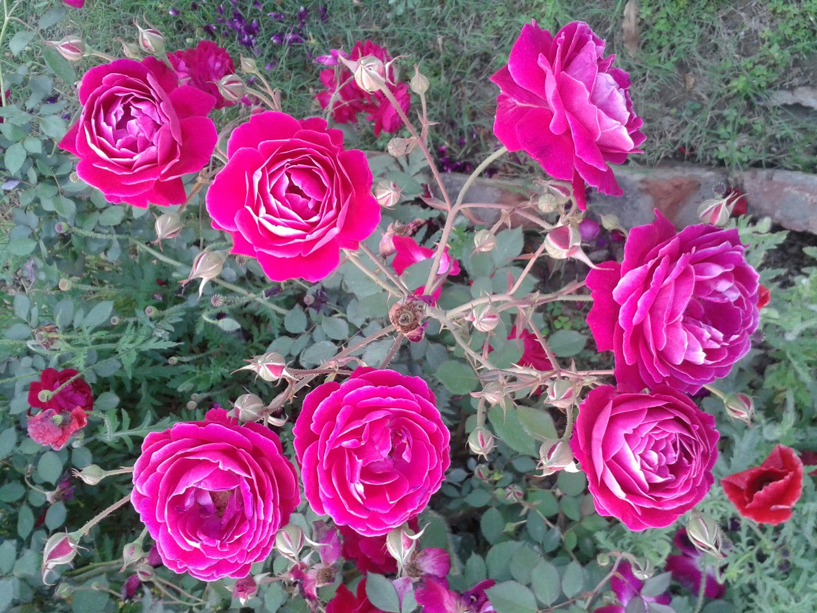 Real Roses Pictures From Rose Garden Chandigarh-8268
