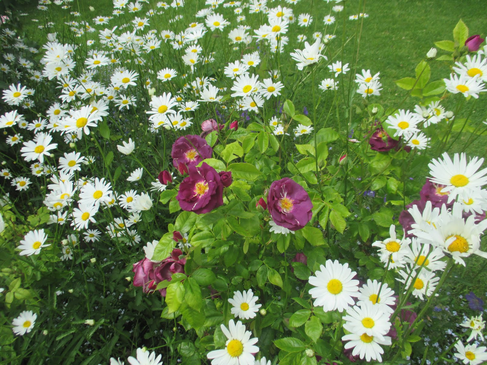 Ox Eye Daises in the Garden