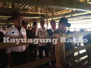 "7 Rumpun Lokal Asli Indonesia ""Kerbau Pampangan"