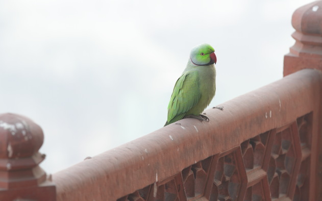 Rose ringed parakeets are omnipresent in and around Red Fort, Agra