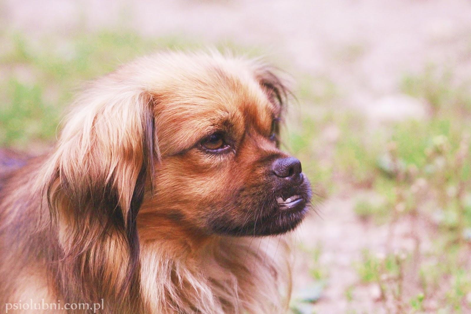 znalazłem psa, zaginął pies, gdzie zgłosić znalezienie psa, schronisko dla psów, psy w schroniskach, dom tymczasowy, psy do adopcji, psy rasowe, pekińczyk, blog o psach, psiolubni,