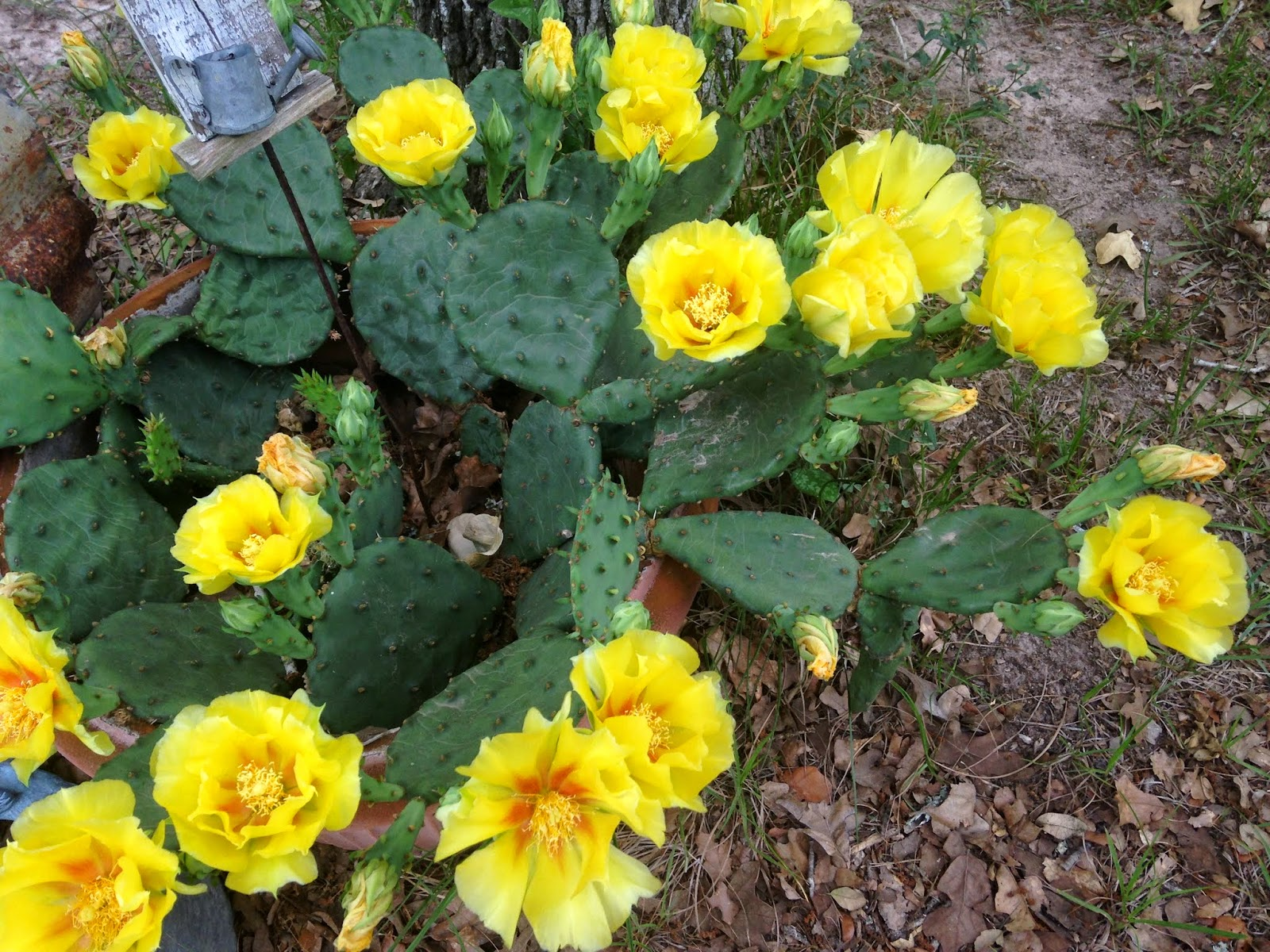Every little birdie the yellow rose of texas look at these gorgeous yellow blossoms mightylinksfo