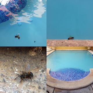 La abeja cae en la piscina y en cuestión de unos segundos cae fulminada. ¿Cuántos animales mueren cada día envenenados en los millones de piscinas envenenadas de todo el mundo? ¿Y porqué apenas hay estudios científicos que mencionen el envenenamiento en piscinas como una causa más de la desaparición