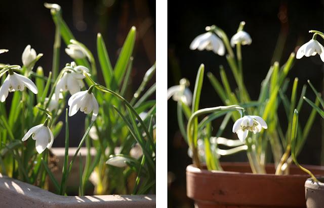 Del vintergækker og plant dem i krukker