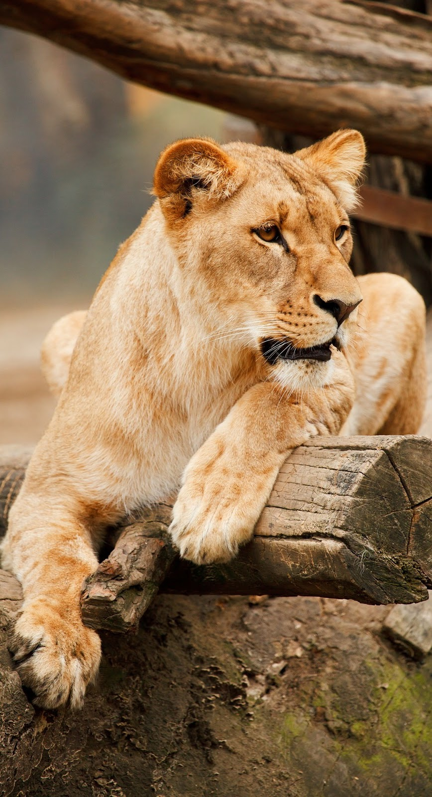 Picture of a lioness.