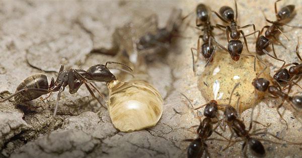 sperma, air mani, dikeremuni semut, mukhlis mj