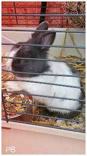 lapin-nain-gris-blanc