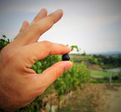 assaggio uva vendemmia