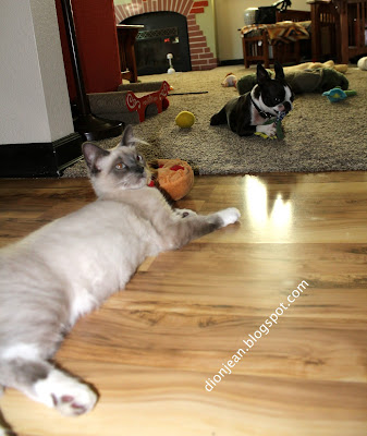 Fergus the kitten and Sinead the Boston terrier and their toys