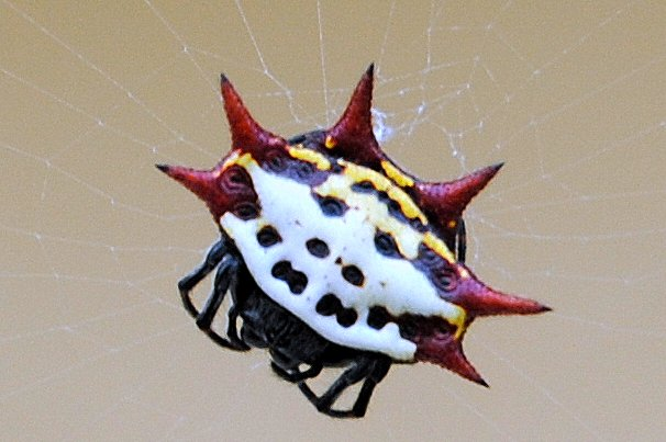 Spiney Orb Weaver Spider