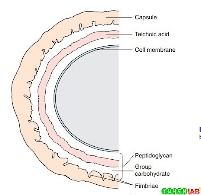 Schematic representation of streptococcal cell wall.