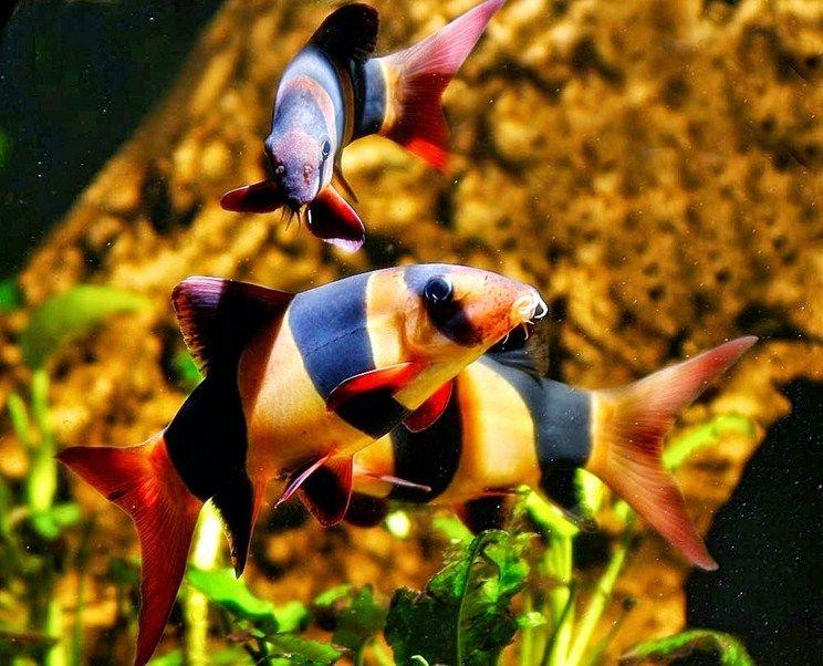 Budidaya Ikan Hias Botia