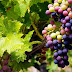 20 Proven Health Benefits of Grapes [Real Facts]