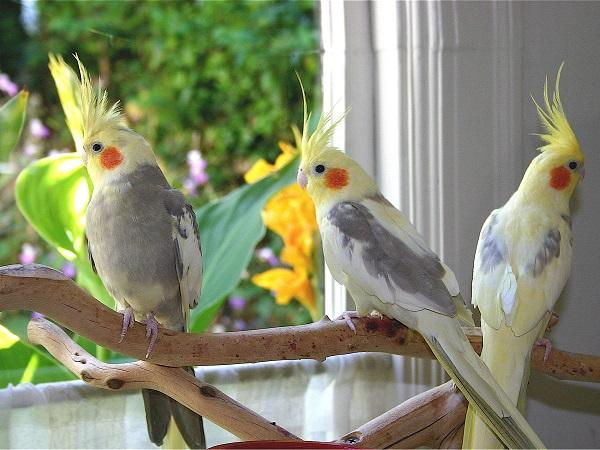 جميع طفرات والوان الكوكاتيل الكوكتيل بالصور طيور الزينة المصرية
