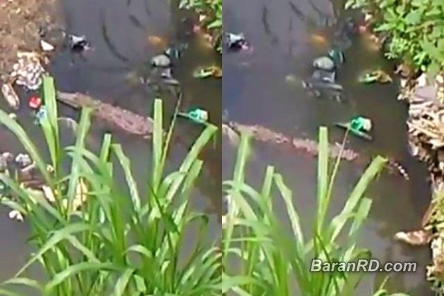Video: Cocodrilos en cañada causan temor en Sabana Perdida