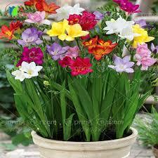 زهرة الفريزيا ازهار عطرية Freesia hybrida fragrance flowers