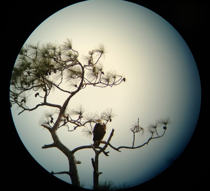 Eagle -  Cell Phone Photo Through Telescope