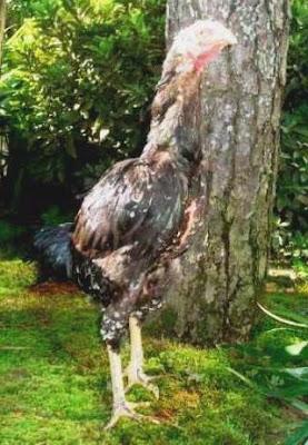 Gambar Ayam Betina Siam Shamo Jepang AYAM ADUAN BANGKOK ADU AYAM