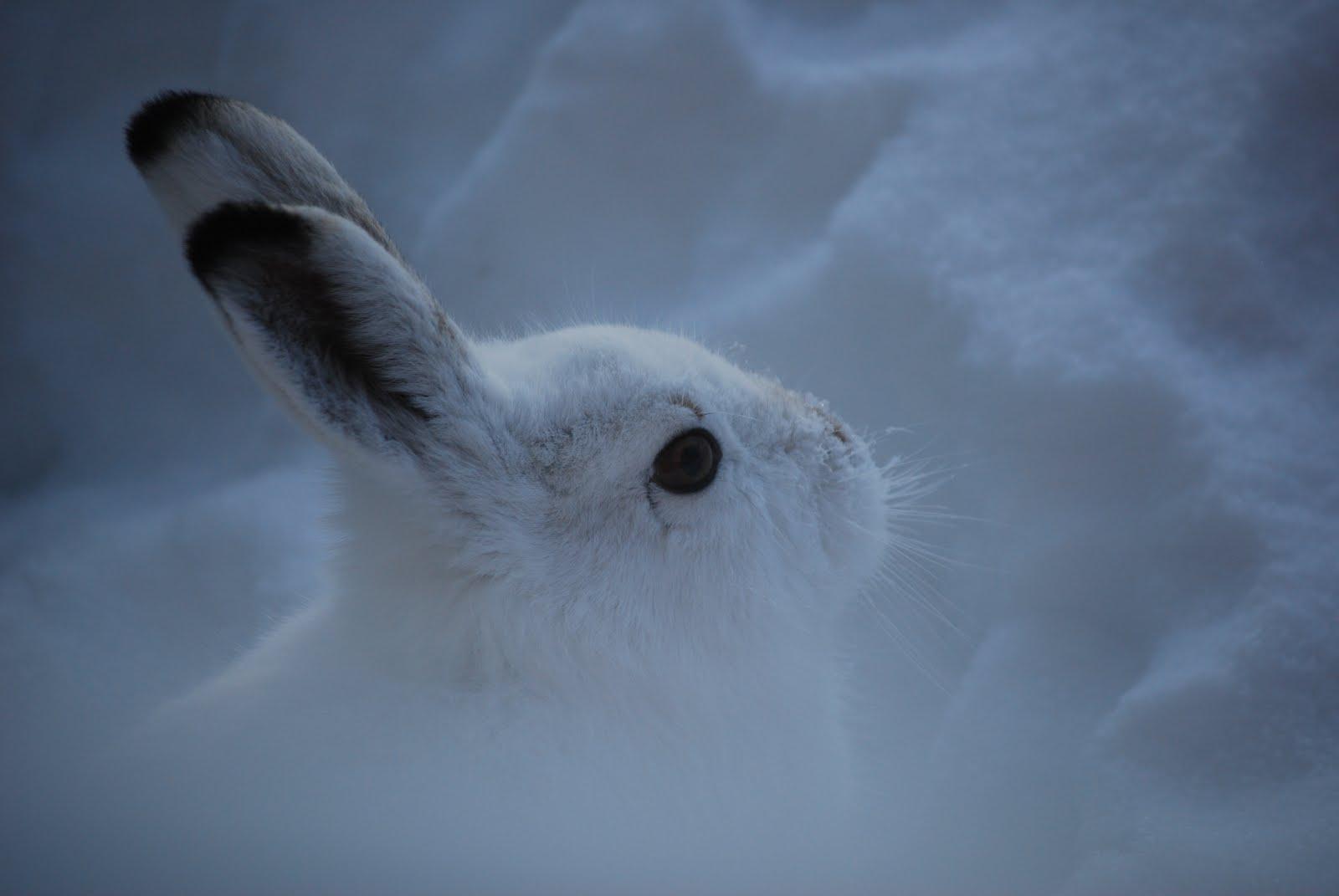 Hare Suomeksi