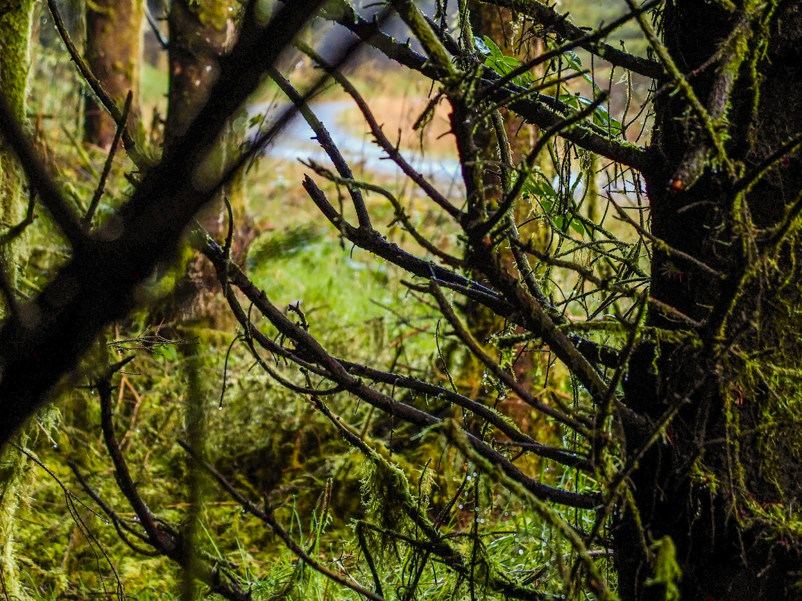 Looking of of a forest from behind mossy tree branches.