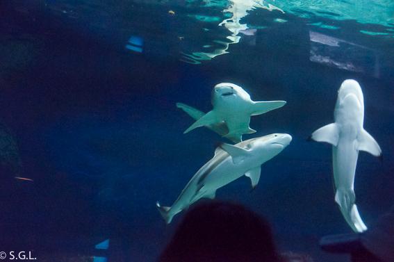 Tiburones en el acuario de Vancouver