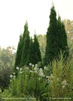 winterharte Gehölze für den mediterran gestalteten Garten - Thuja