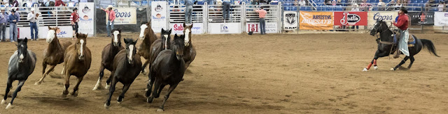stock horses run the arena at the scottsdale parada del sol rodeo
