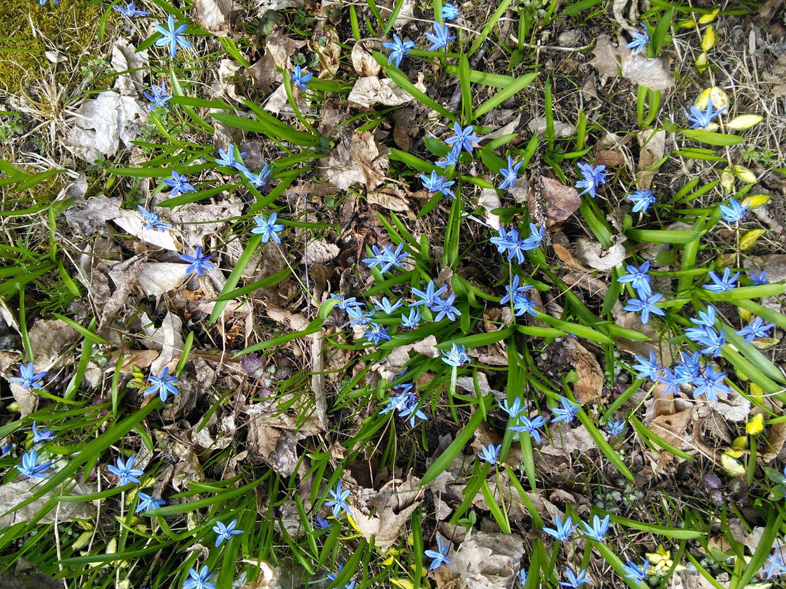 In the garden small area ground covers the blue scillas are a loose ground cover that are best at giving a shot of bright blue in the springtime these ones are planted in among some variegated izmirmasajfo