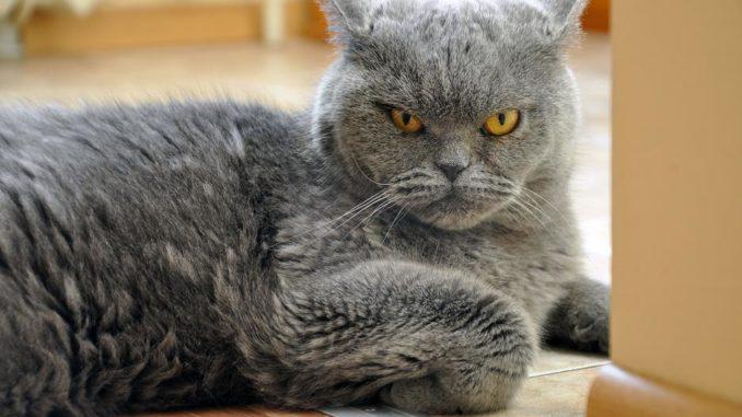 velika japanska maca