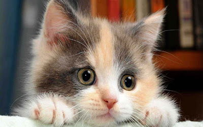 billo-cat-kitten-babu-images