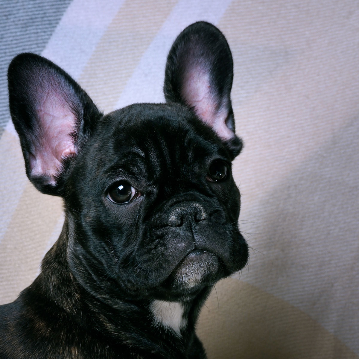 Which Dog Breeds Are The Best Alternatives To The French Bulldog