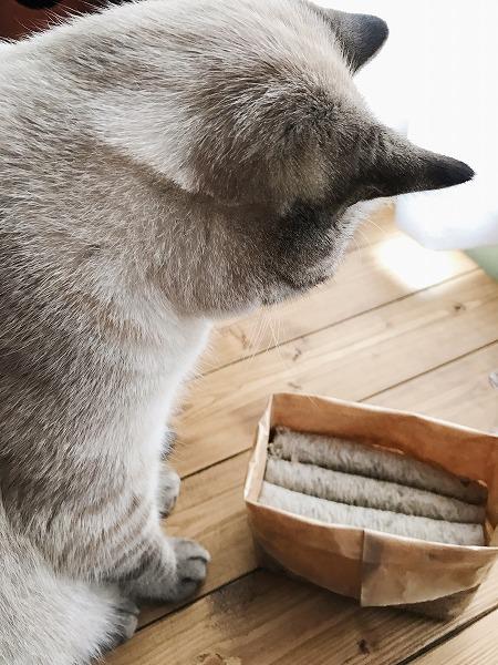 猫草栽培セットを見つめるシャムトラ猫