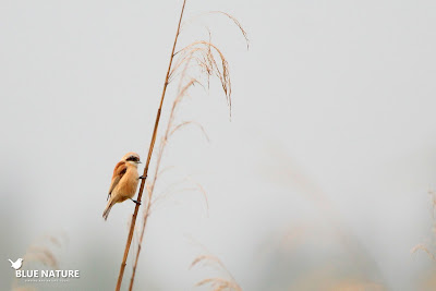 Pájaro moscón (Remiz pendulinus) trepando por el tallo del carrizo.