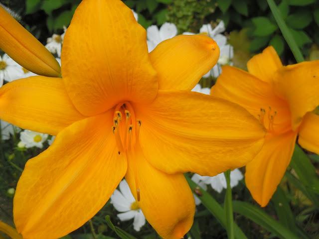 kwiaty liliowca