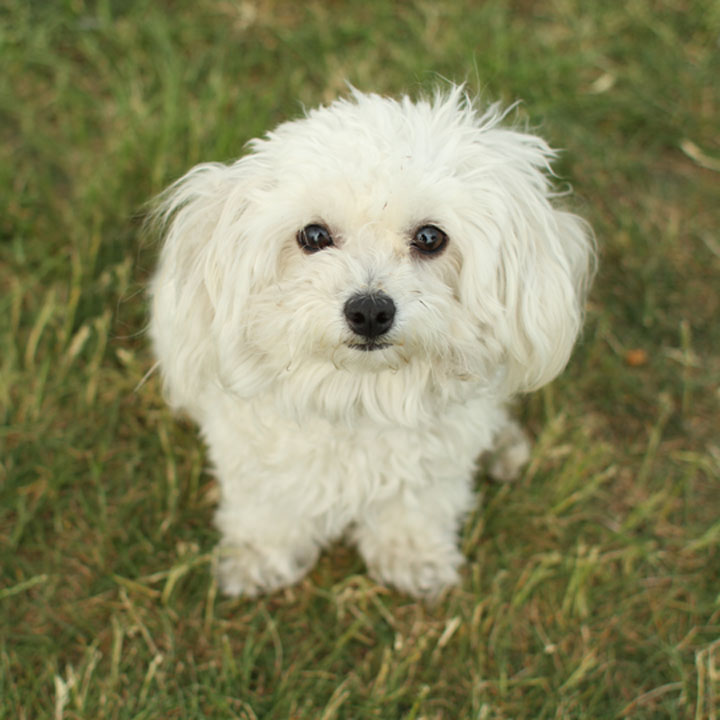Maltese Poodle Photograph | Unnamed Maltese Toy Poodle Mix